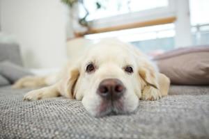 Hundesofas für größere Hunderassen